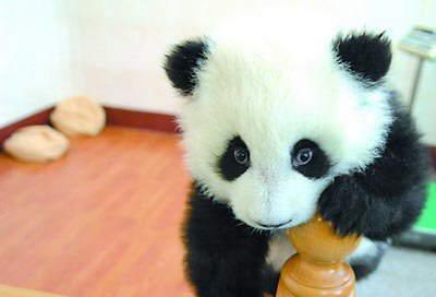 Fotos osos panda Panda