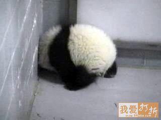 Ositos panda Osito panda