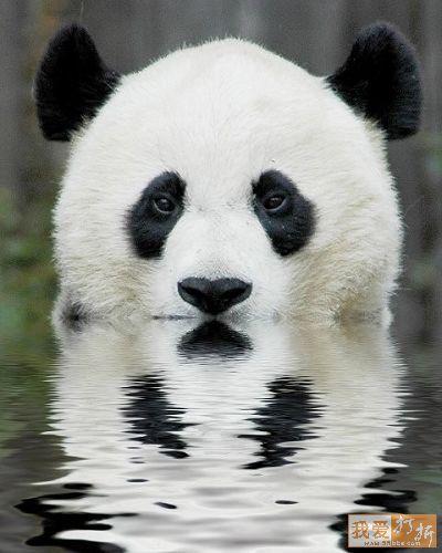 Osos Pandas Bañandose