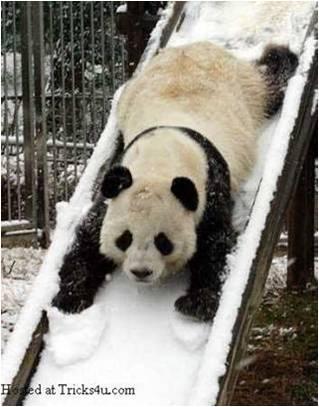 Oso Panda en Tobogan