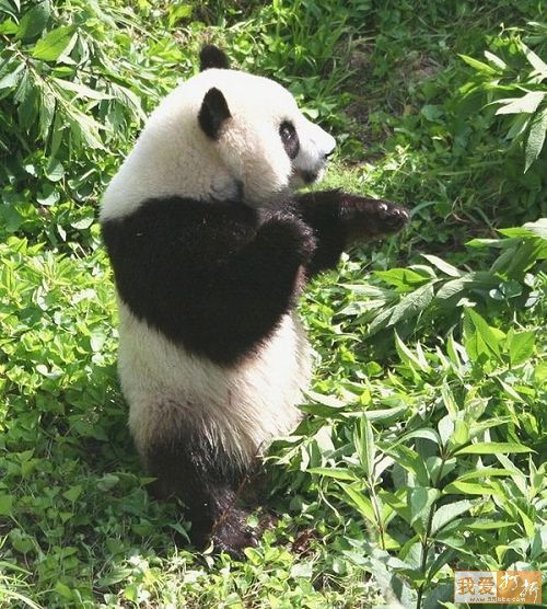imágenes osos panda