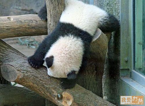 imagen osos panda