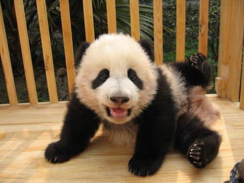 Imagenes de Osos Panda: simpática imagen de osito panda bebe