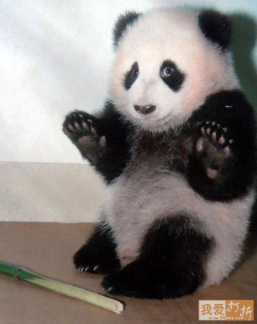 "Imagen osos panda bebé ""Yo no fui"""
