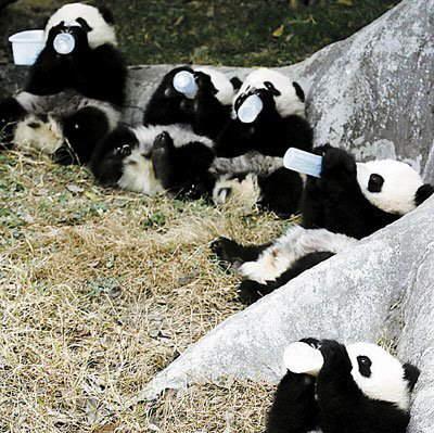 imagenes osos panda_ ositos panda tomando biberon