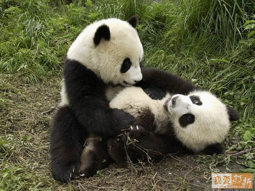 Foto osos panda jugando