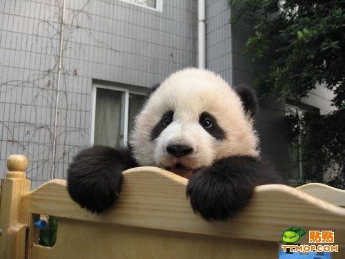 Imágen oso panda - foto
