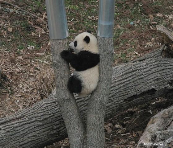 imagenes de osos pandas fotos