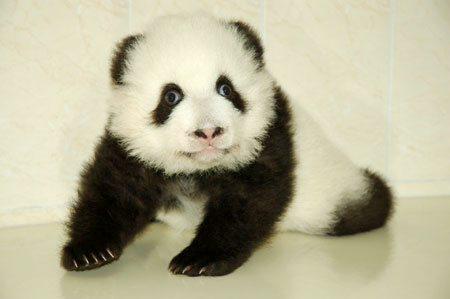Imágen osito panda