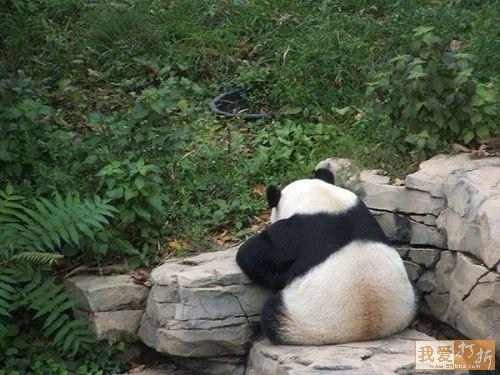 imagenes osos pandas de espalda
