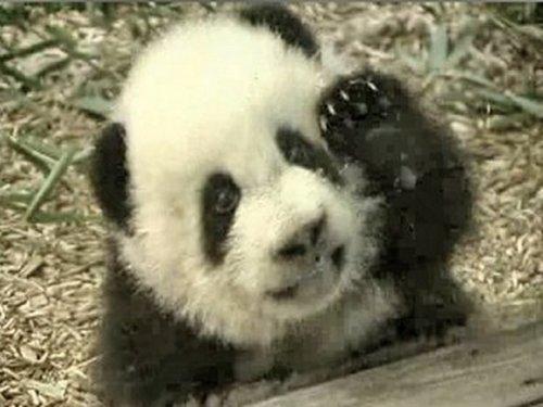 Imagenes simpatico oso panda