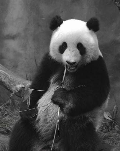 imagenes osos pandas imajenes