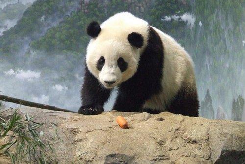 Imagen osos panda en las montañas