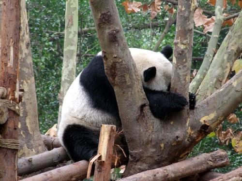 fotos osos pandas durmiendo siesta imagenes imajenes