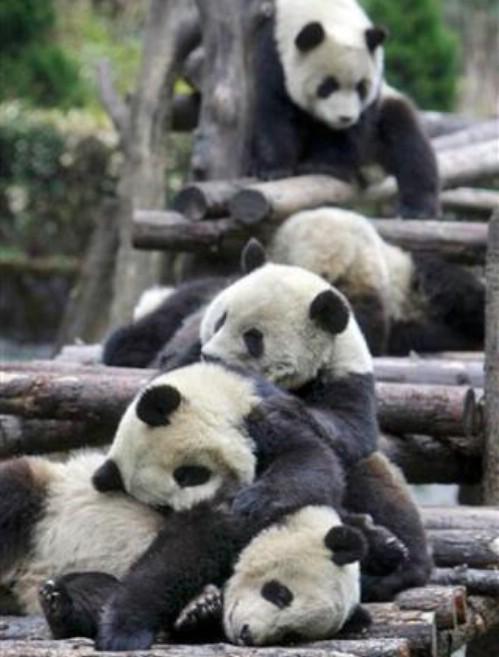 fotografias fotos osos pandas imagenes fotografías imajenes  Imágen osos pandas cansados - foto