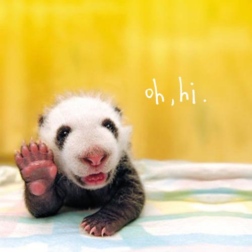 imágenes osos pandas bebés bebes   Imágen oso panda bebé