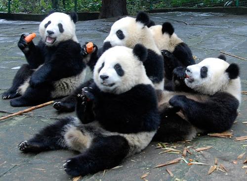 Imágen osos panda