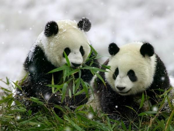 Fotografía osos panda