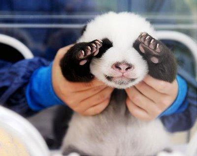Imagenes osos pandas bebes