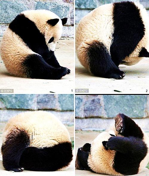osito panda cansado  Osito panda con mucho sueño!
