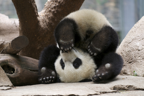 Imagen tierna oso panda
