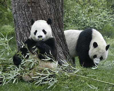 Fotografía osos pand