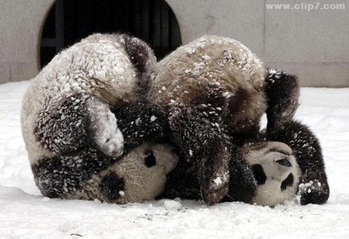 imagenes osos panda jugando en la nieve
