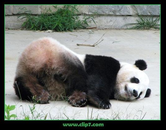 imágen oso panda