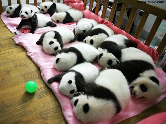 Imágenes ositos panda bebés tomando la siestas