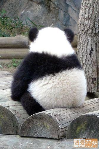 Fotografía oso panda de espalda