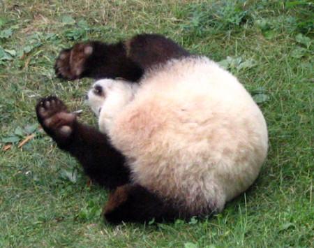 Imagenes osos pandas