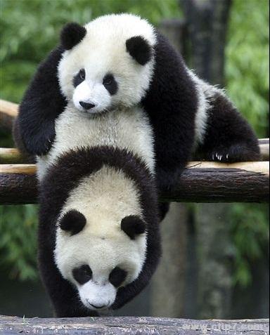 imagenes de osos panda