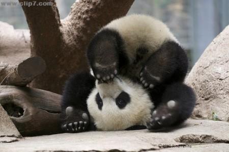 Foto oso panda patas para arriba