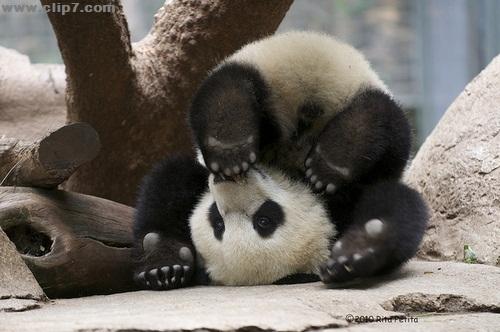 Foto osito panda patas para arriba
