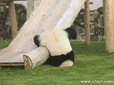 Fotos osos panda