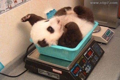 Imagen osito panda en control de peso
