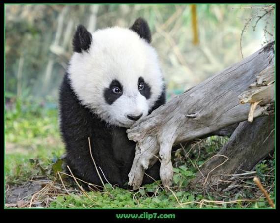 Fotografias osos pandas