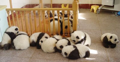 Ositos panda durmiendo siesta