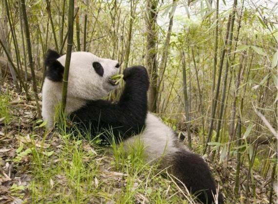 Imagenes oso panda aragan