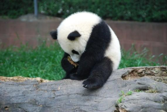 Fotografia osito panda avergonzado - imagenes del oso panda bebe