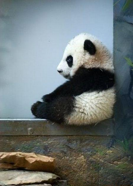 Fotografia osito panda melancolico