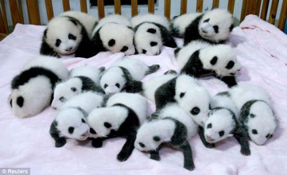 Fotografia ositos panda bebes en guarderia
