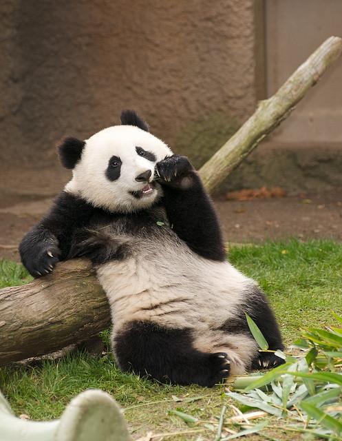 Fotografia oso panda aristocrata