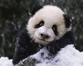 Foto oso panda con expresion divertida