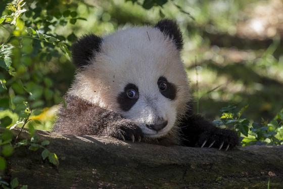 Fotografia tierno osito panda