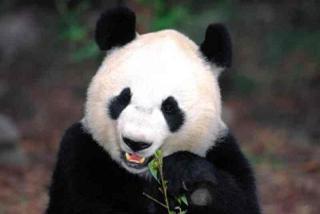 Osos panda: imágenes y fotografias