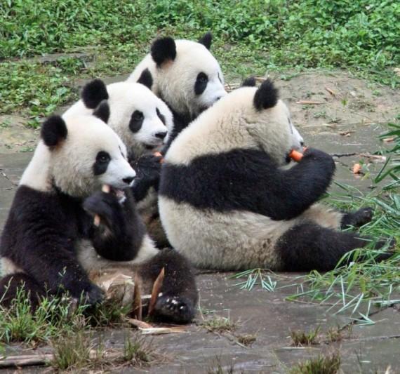 Fotografia osos panda comiendo