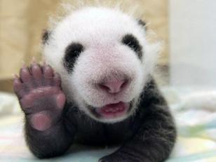 Fotografia osito panda bebe saludando