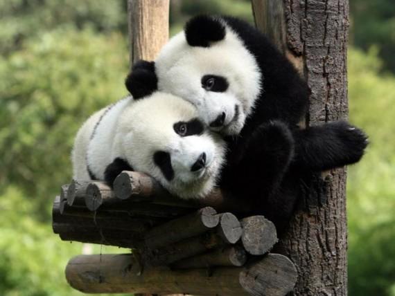 Fotografia dos tiernos osos panda