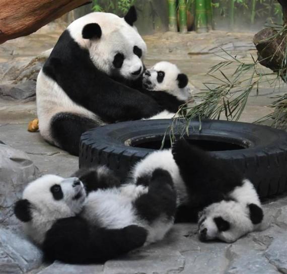 Imagen de familia de osos panda